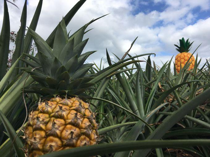「ナゴパイナップルパーク」で楽しくパイナップルの魅力を知ろう!