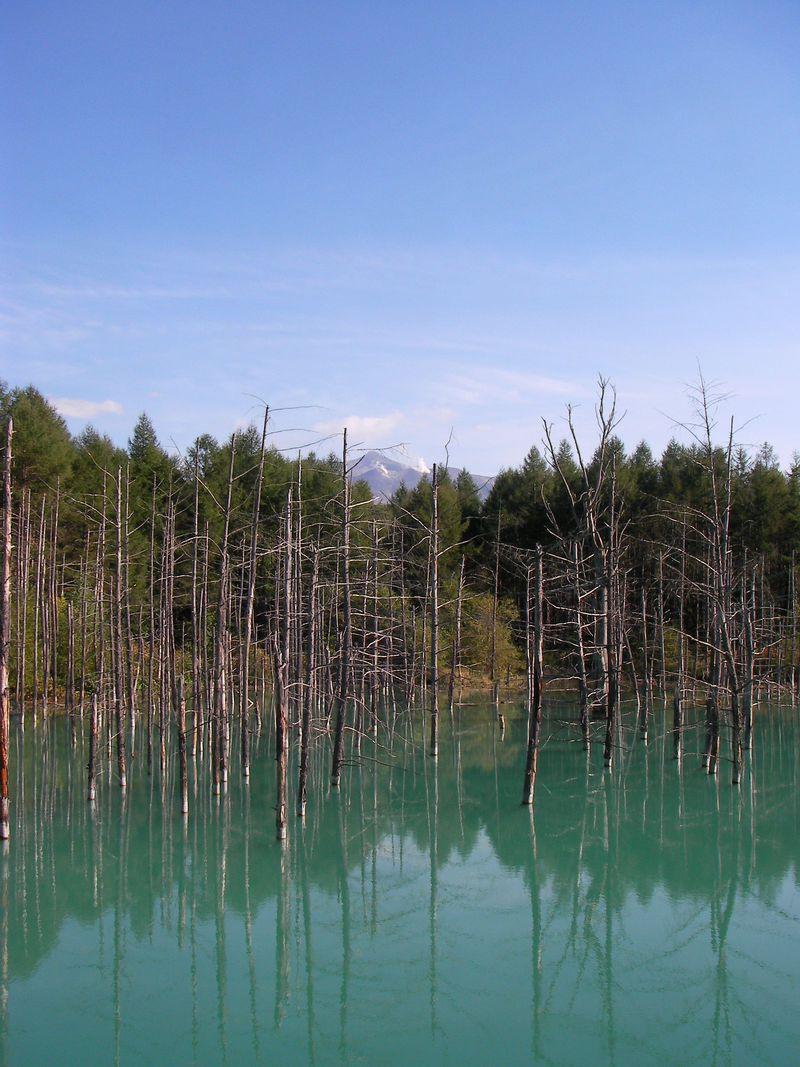 美瑛「青い池」から「望岳台」へ白樺街道ドライブ。