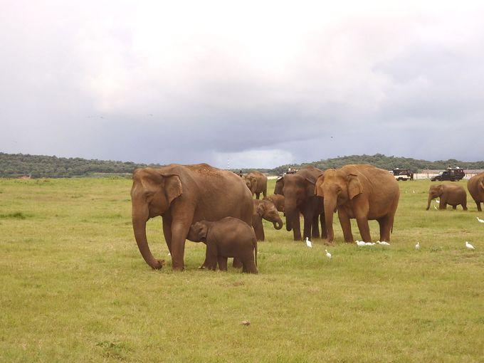 野生の象にも近い!