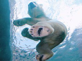 ホッキョクグマが頭上を飛ぶ!札幌市円山動物園「ホッキョクグマ館」オープン