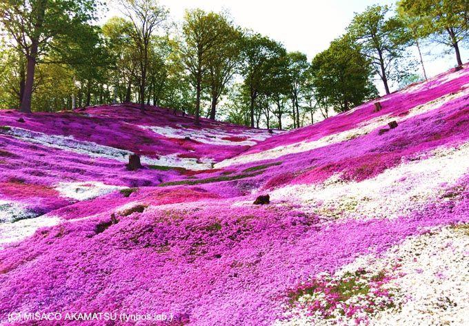 北海道「ひがしもこと芝桜公園」は紅色絨毯と熟成チーズが人気