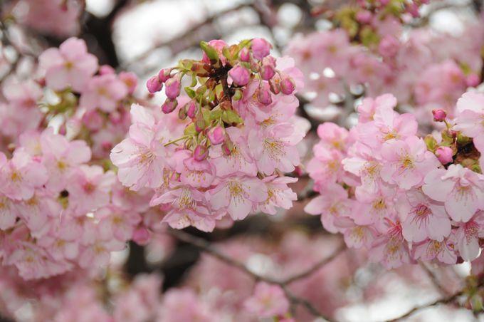 河津桜はこんなにピンク