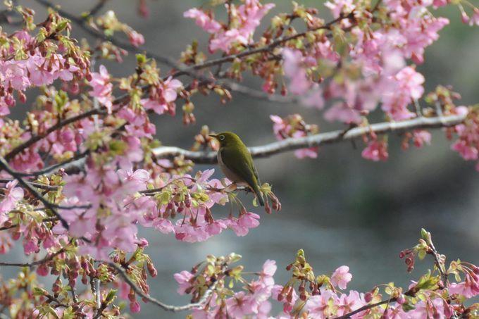 河津桜の本場を満喫!伊豆「河津桜まつり」を楽しむポイント