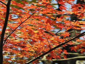 茨城で穴場の紅葉名所「花貫渓谷」吊り橋に覆いかぶさるモミジが圧巻!|茨城県|トラベルjp<たびねす>