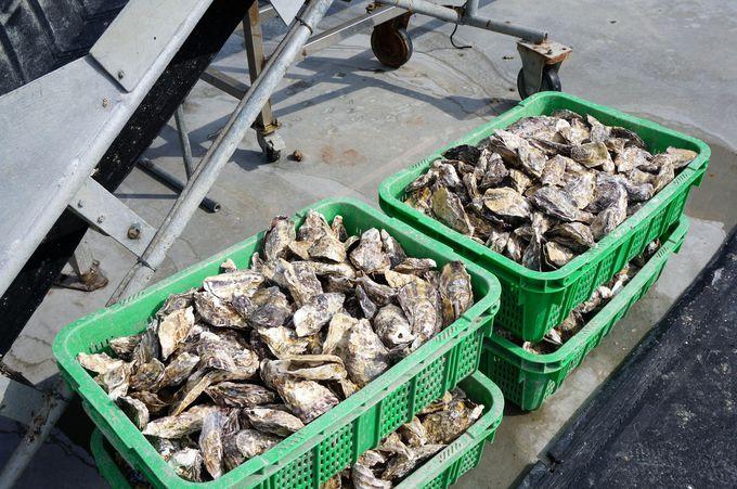 美味しさの条件がそろった播磨灘の牡蠣
