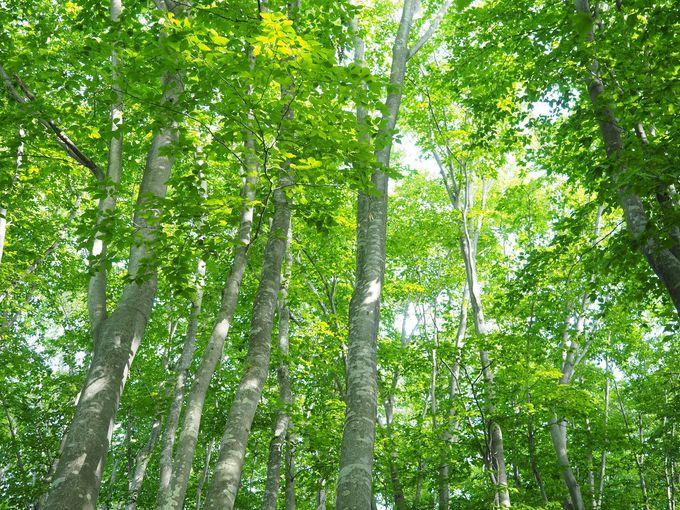 都会に疲れたら林へ!新潟・当間高原のブナ林はひんやり静かな癒やしの場