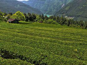 浜松市・龍山茶の産地で茶畑の絶景を!〜山地の茶畑と集落の景観がすごい