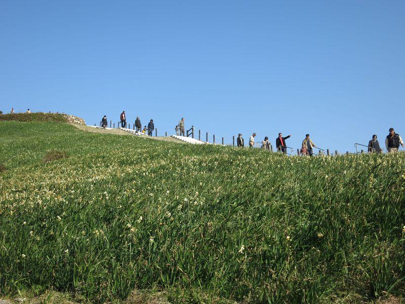 かおり風景100選の地「野母崎」、軍艦島を望む丘に約1,000万本の水仙が咲き誇ります。