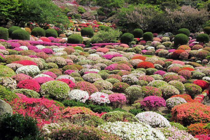 つつじ谷に広がる花の絨毯