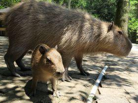 カピバラの聖地「長崎バイオパーク」ワクワクの餌やり体験が楽しい!|長崎県|トラベルjp<たびねす>
