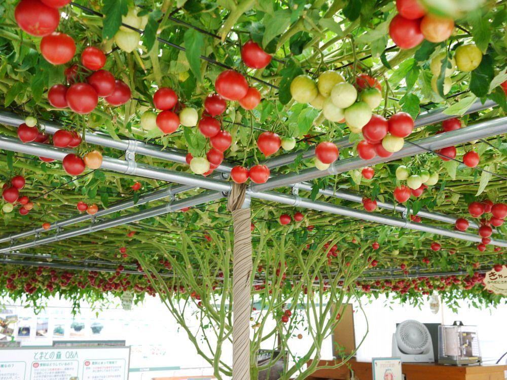 頭上に広がるトマトの世界