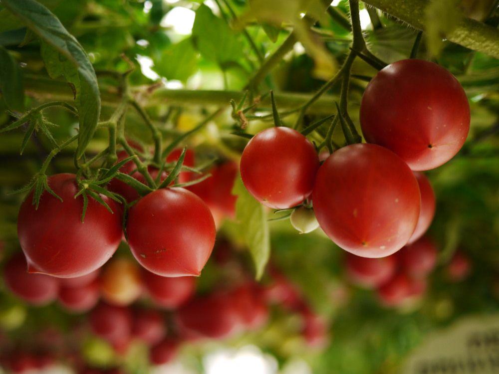 トマトは食べられるの?