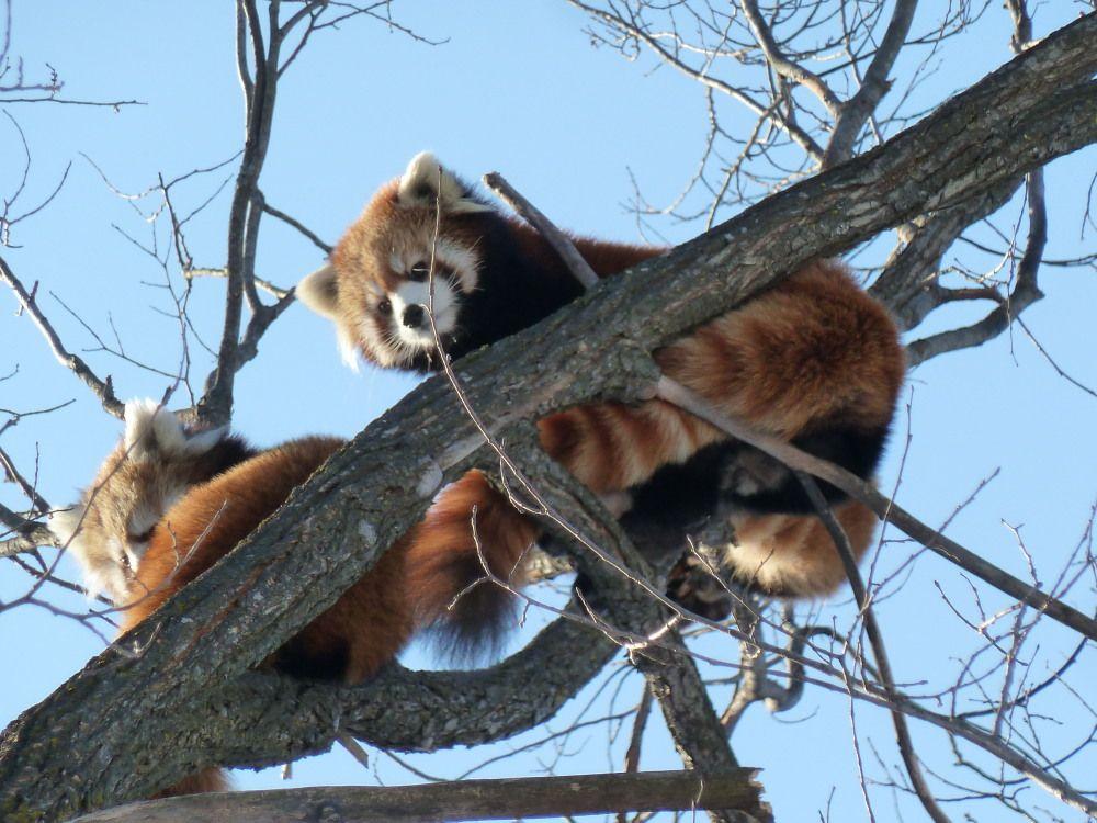 冬はかわいい姿がよく見える!円山動物園のアイドル