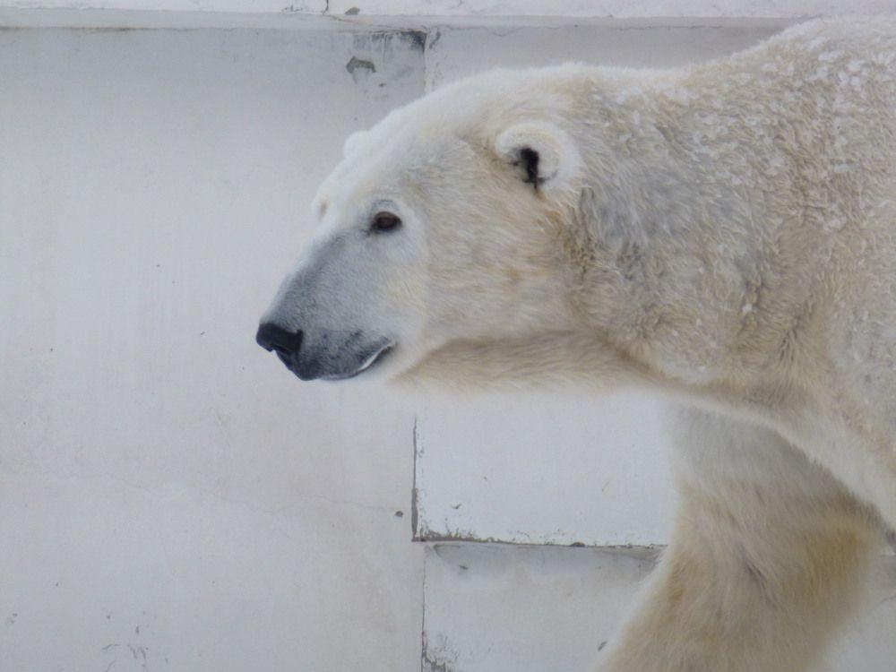 冬は元気いっぱいのホッキョクグマに会いに行こう!