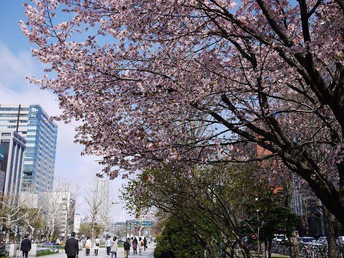 桜美しい「大通公園」はお花いっぱいの札幌市民の憩いの場