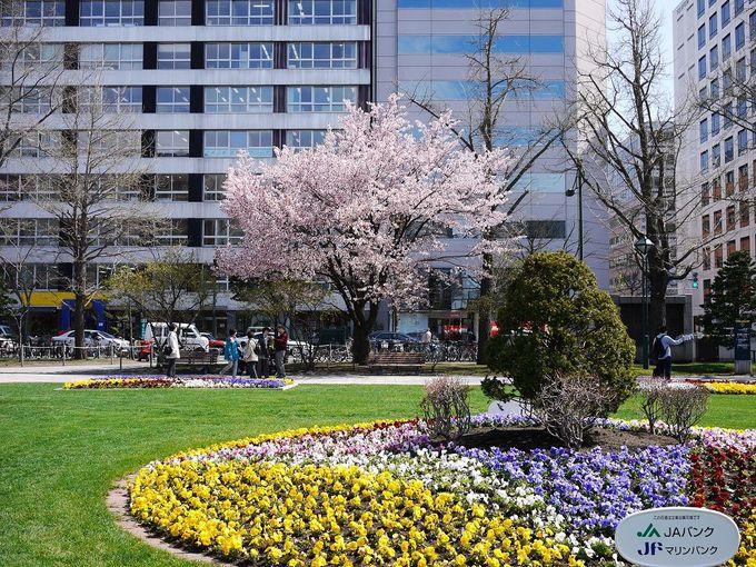 札幌市民と一緒に桜を愛でつつ芝生でお花見ランチはいかが?