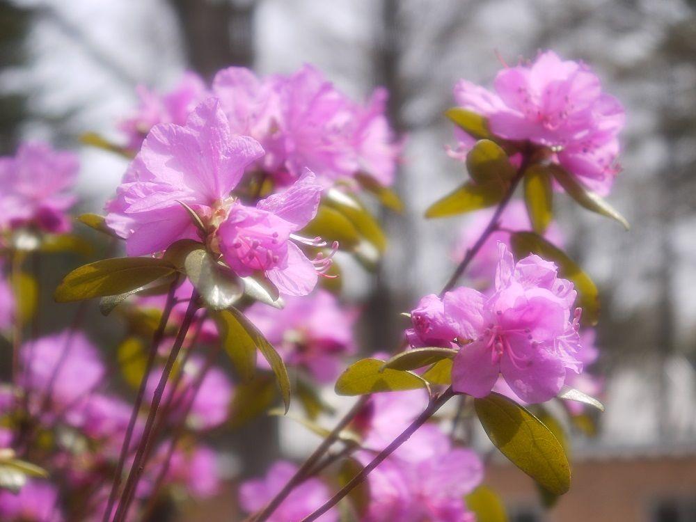北海道で一番早くに咲く「エゾムラサキツツジ」