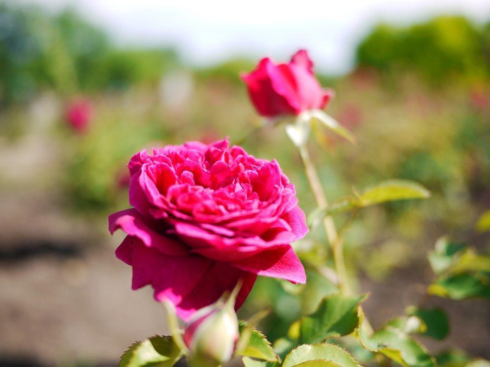 食べるために育てたバラ「ロズビィのバラ畑」