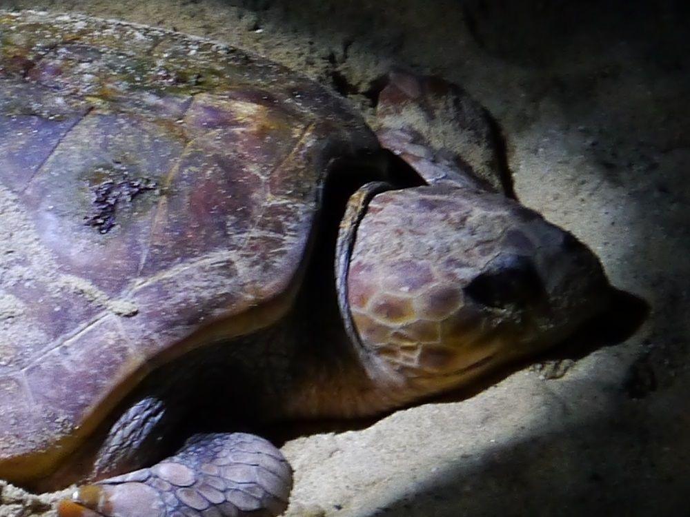 ウミガメ産卵見学は「ウミガメ観察会」か「エコツアー」へ