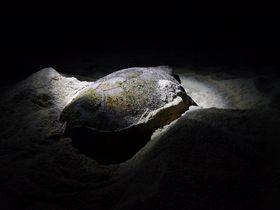 屋久島「永田いなか浜」の夜〜神秘のウミガメ産卵に立ち会おう!
