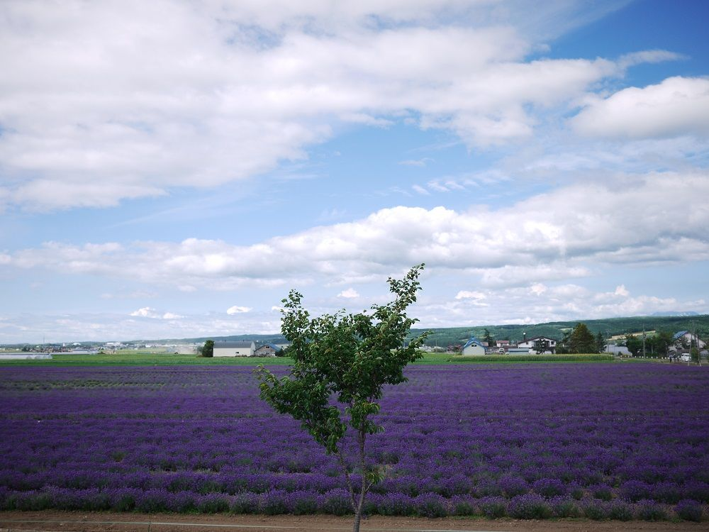 一面に広がる紫色の絶景「ラベンダーイースト」