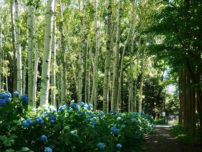 豊平公園名所、白樺とあじさいの美しい並木道