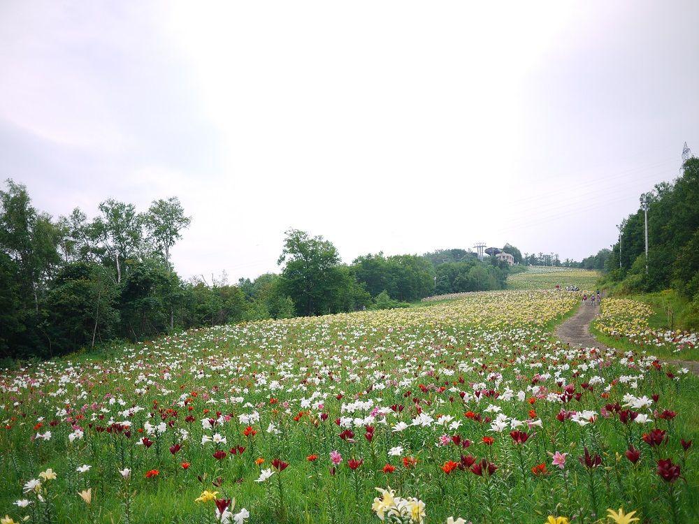 夏のスキー場に広がるユリの楽園!小樽「オーンズ春香山ゆり園」