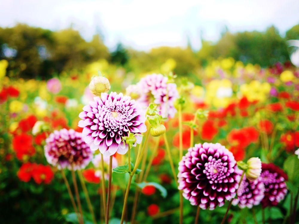 札幌市、秋のオススメお花畑は「百合が原公園」のダリア園!
