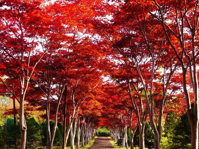 紅葉の名所!「平岡樹芸センター」ノムラモミジの並木道