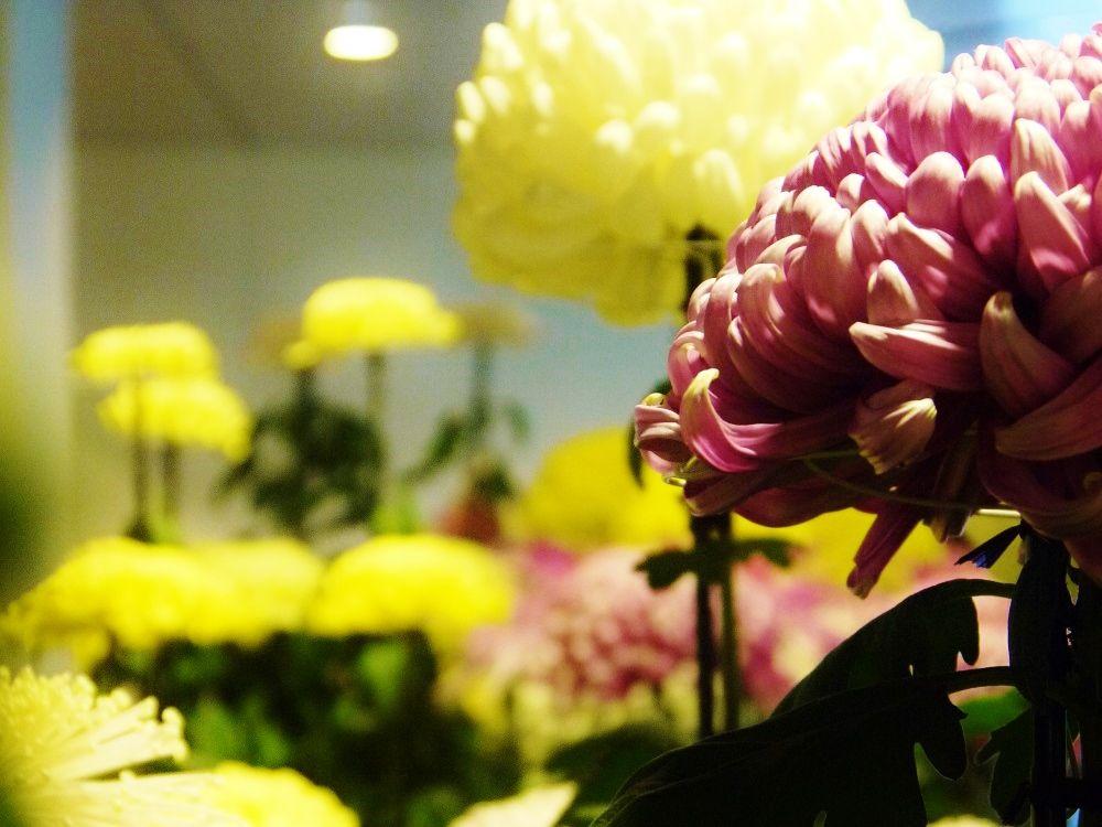 歴史ある「さっぽろ菊まつり」