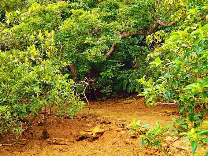 国道のすぐ近く!雨の日も美しい「川満マングローブ林」