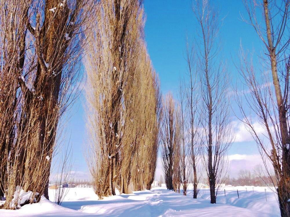 雪の季節も美しい、冬のポプラ並木