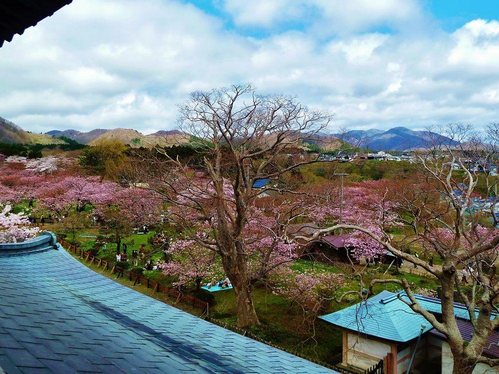 桜花爛漫、松前城天守からの眺め