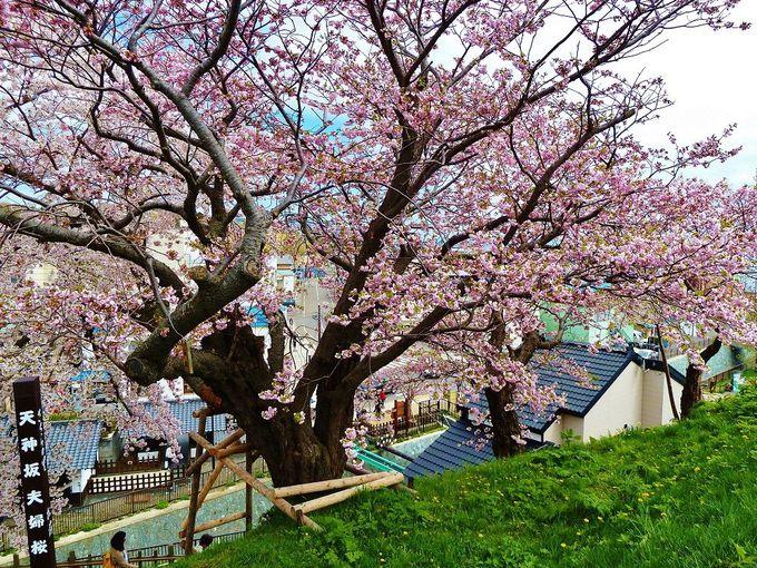 寄り添い1つになった、天神坂の「夫婦桜」