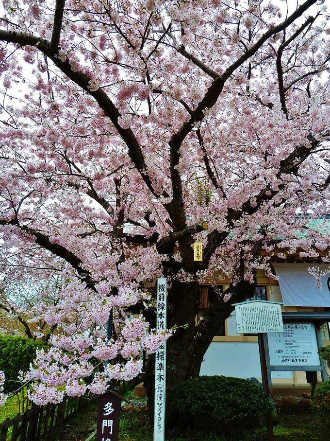桜前線北海道上陸を伝えてくれる染井吉野