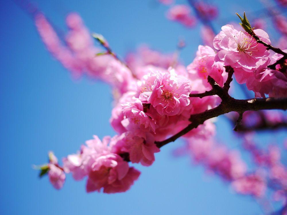 「北海道神宮梅林」を彩るピンク色の花々