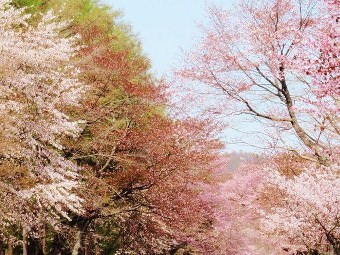 美しく幻想的な「花のトンネル」を歩こう!