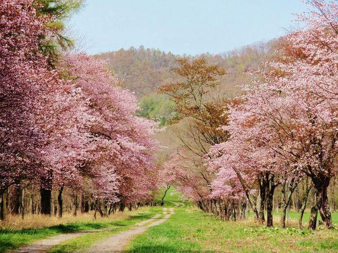 桜並木を美しく撮影しよう!