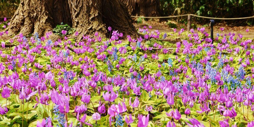 カタクリのお花畑は、まるで春の妖精の舞踏会!