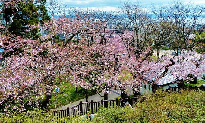 「函館公園」で一番美しい展望を求め、桜と一緒に階段を上りましょう!