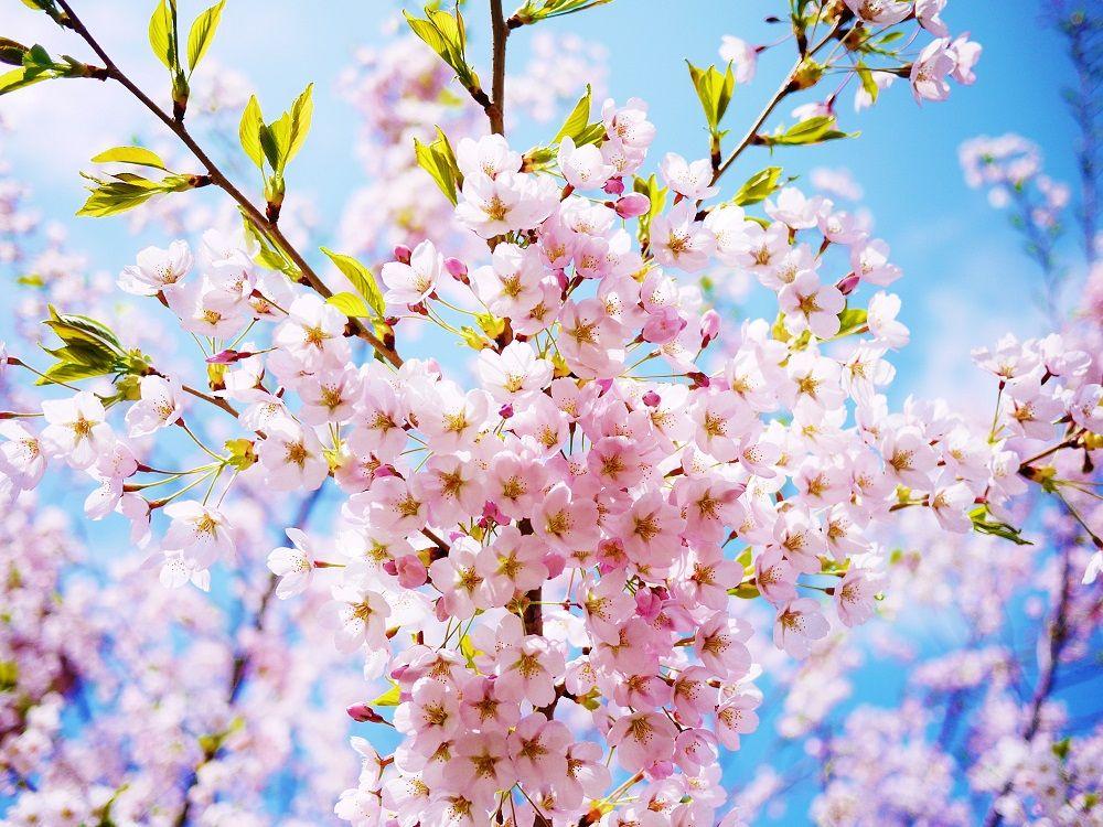 小休止!上を見上げると桜色の空