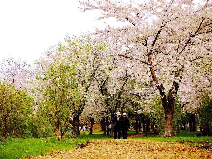 桜の下でのんびりお花見!家族みんなで楽しめる「農試公園」