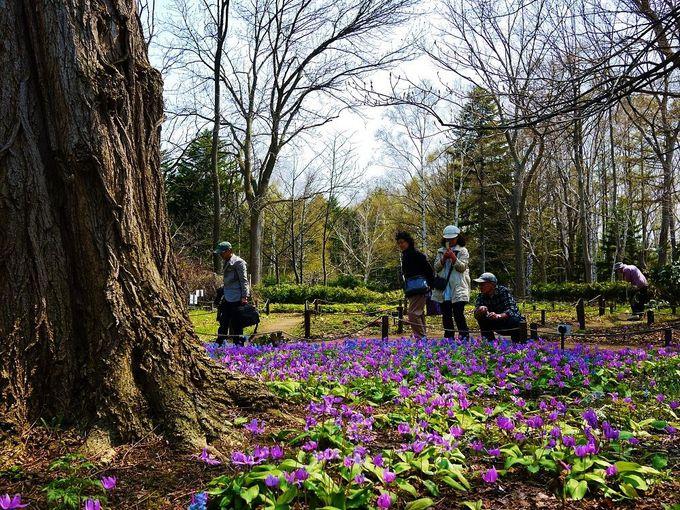 早春からお花畑が楽しめる「豊平公園」へ、カタクリに会いに行こう