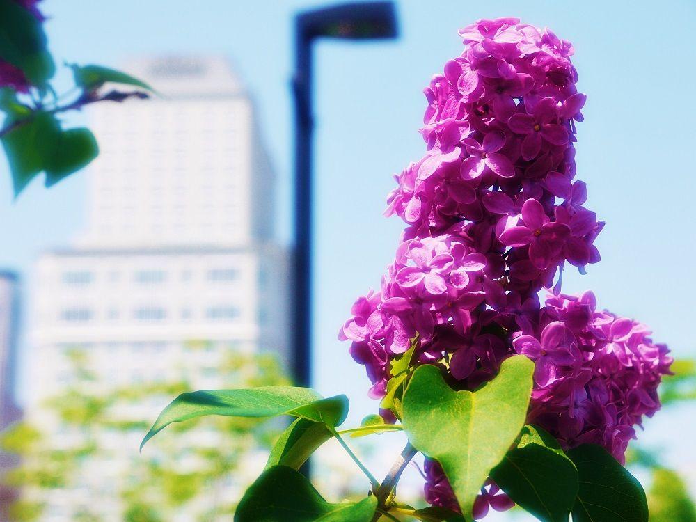 リラの花香る街にライラックの新名所!札幌市「創成川公園」
