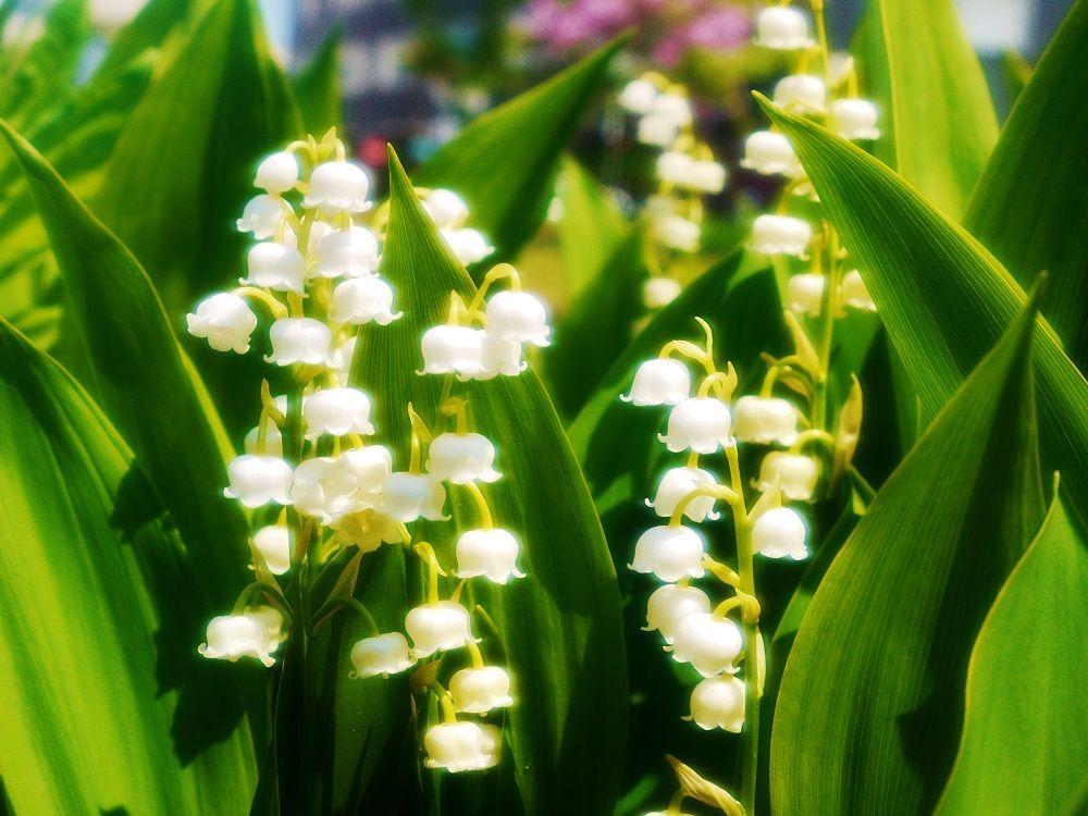 札幌の木ライラックと一緒に札幌の花スズランを愛でる