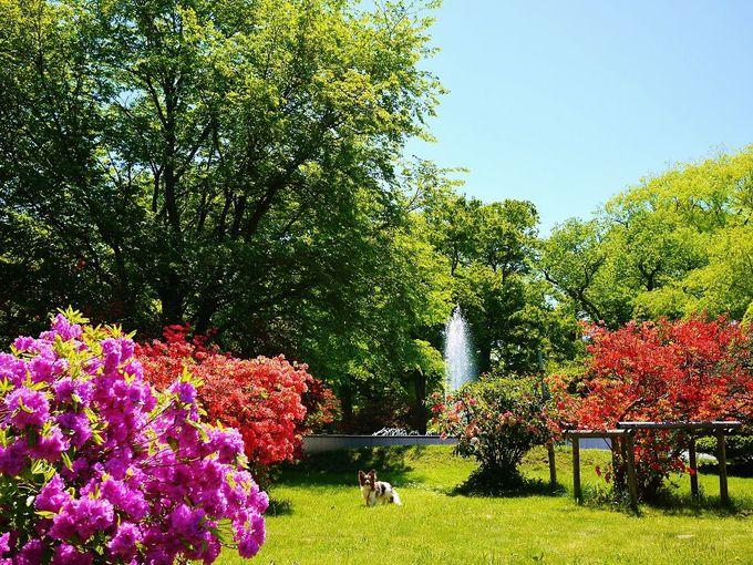 クロユリ咲く季節はツツジが美しい北海道大学キャンパス