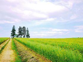 作付面積日本一!北海道滝川市「江部乙丘陵地」絶景菜の花畑