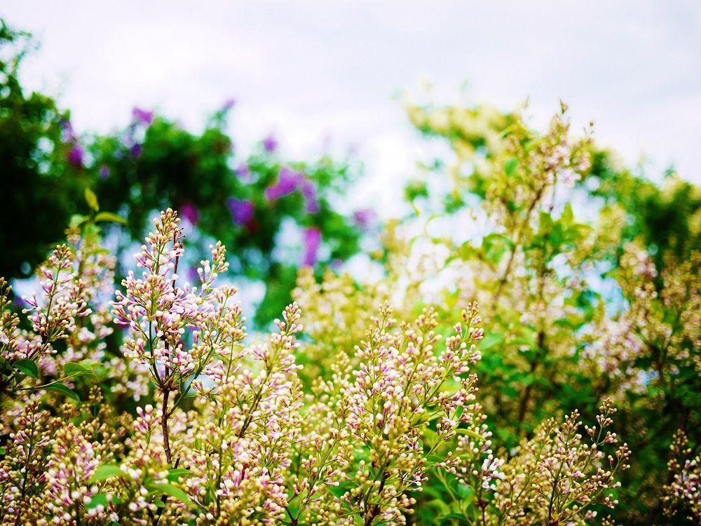 種類が多いから長い期間開花が楽しめる