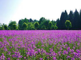 新潟県・当間高原に広がる紫の絨毯スイートロケットのお花畑