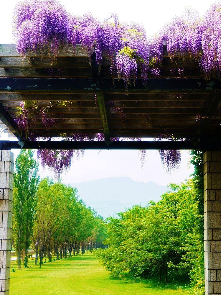 「前田森林公園」でしか見ることができない藤とポプラ並木の風景